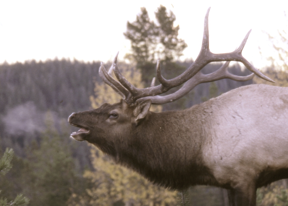 Super Animal Elk Wapiti