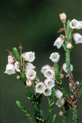 Alpine flowers white mountain heather mightylinksfo