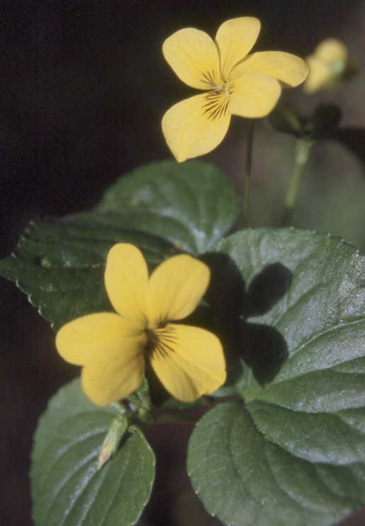 Yellow flowers yellow violet viola glabella perennial to 50cm tall leaves are heart shaped sharply pointed at the tip to 5cm across yellow flowers 3 lower petals with mightylinksfo