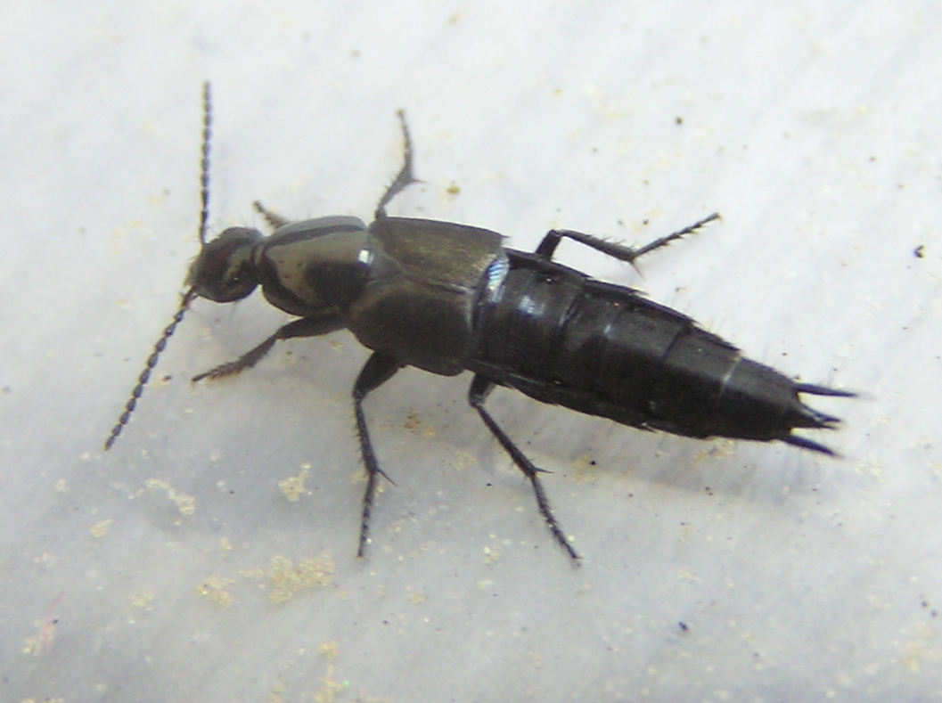 rove beetle with wings